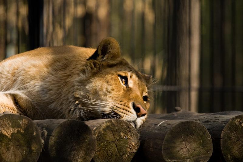 прекрасных львица плачет картинки встреча такой женщиной